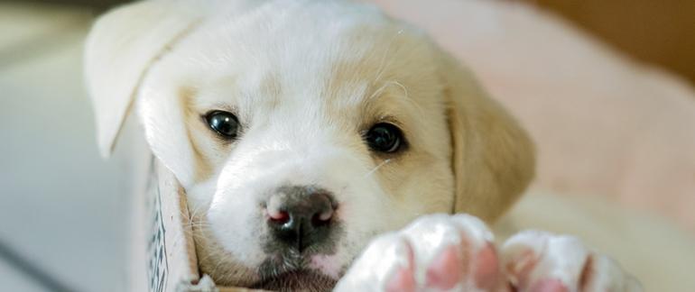 Білий щеня по соннику порода маленького вихованця, тлумачення дівчата і жінки, передбачення Гришина