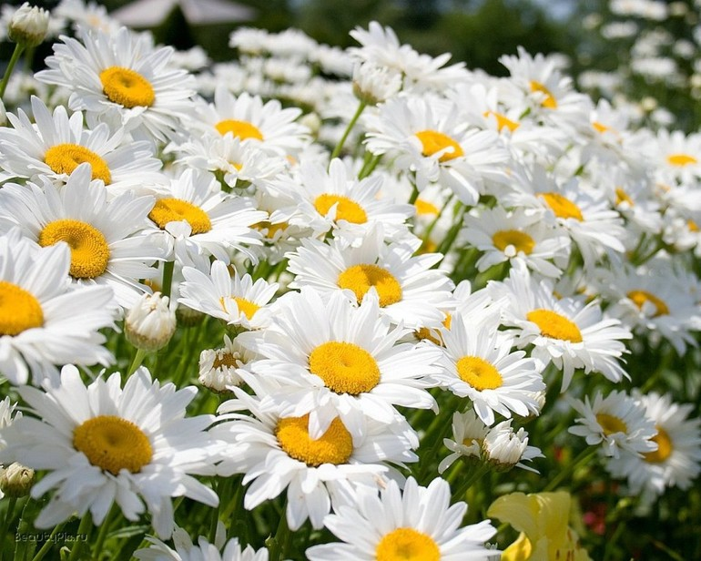 Чому сняться ромашки: що означає бачити ромашковий букет, садити або зривати квіти, дарувати або плести вінок