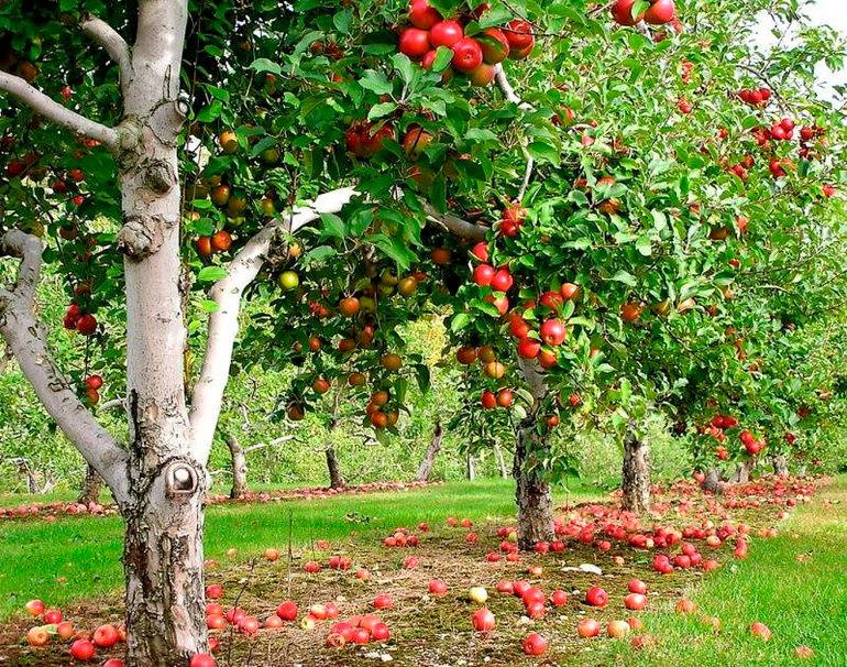 До чого може приснитися багато яблук на яблуні в квітучому саду: популярні тлумачення