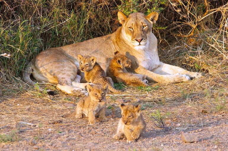 До чого може приснитися левиця жінці чи чоловікові: трактування по сонникам