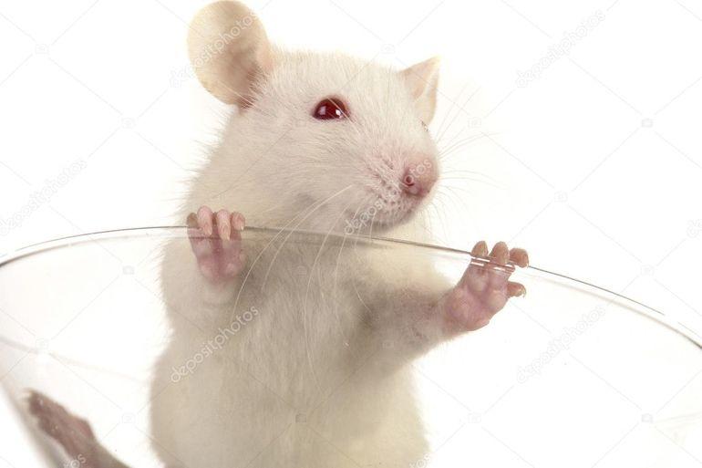 До чого може приснитися велика щур: тлумачення різних сонників в залежності від деталей