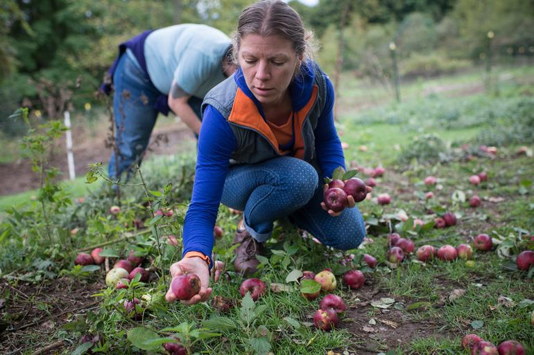 До чого може снитися, якщо збирати яблука з дерева або землі: тлумачення різних сонників