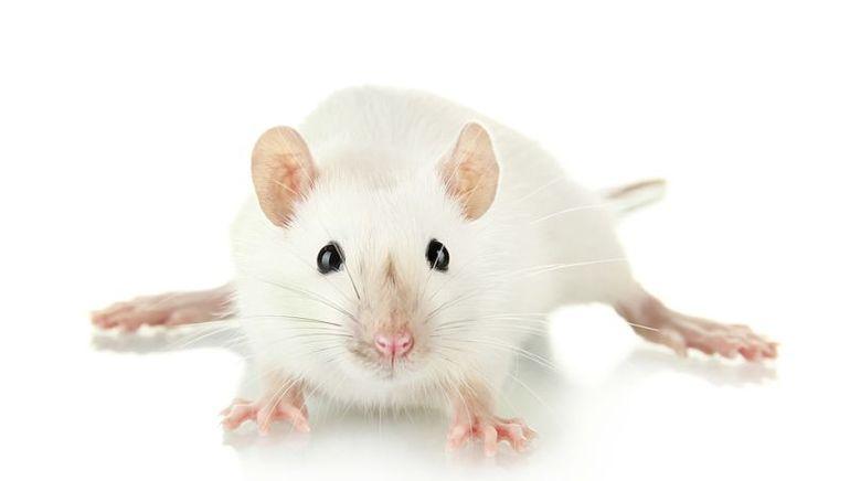 До чого сниться біла миша: значення по сонникам, тлумачення для чоловіків і жінок