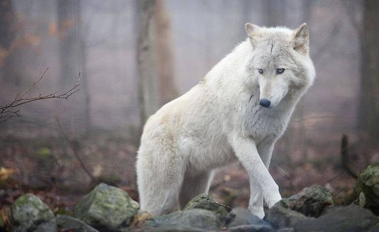 До чого сниться білий вовк: значення для дівчини, мрії про вовчиці, що обіцяє сюжет про напад звіра по соннику