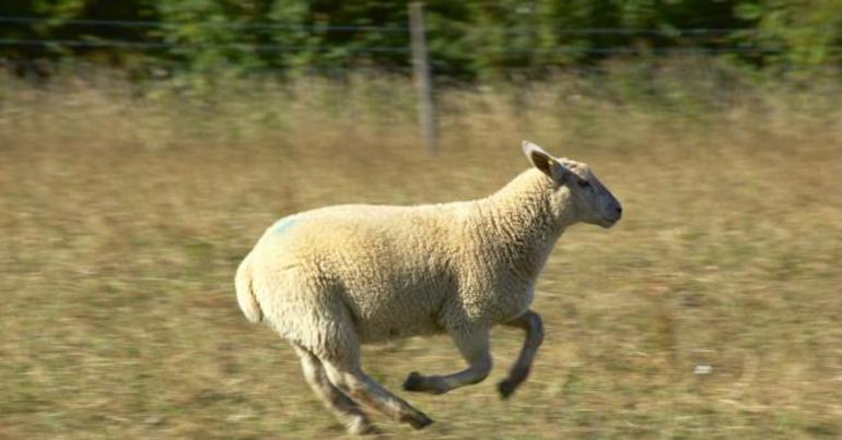 До чого сниться баран: тлумачення стада тварин з білою або чорною шерстю і великими рогами в різних сонники