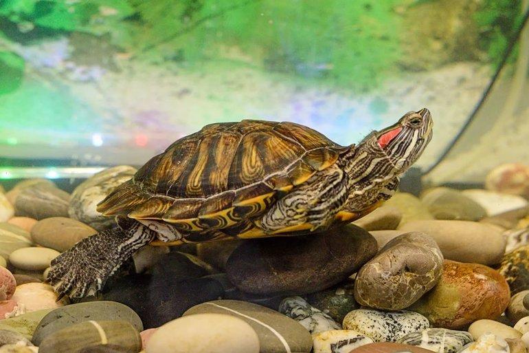 До чого сниться черепаха: велика і маленька, тлумачення в різних сонники, дитинча черепашки