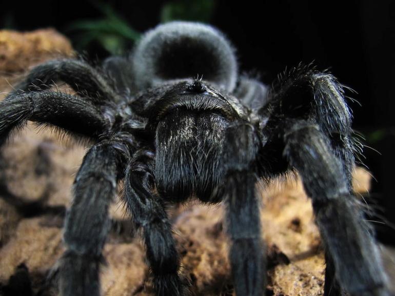 До чого сниться чорний павук: тлумачення Ванги, Міллера, Ісламського і Сучасного сонника; інтуїтивне розуміння