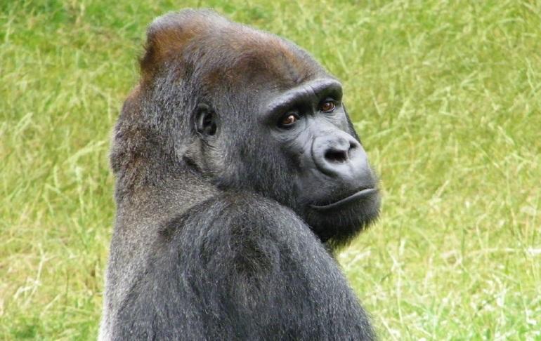 До чого сниться горила: що означає образ для жінки, чоловіки, дівчата по сонникам
