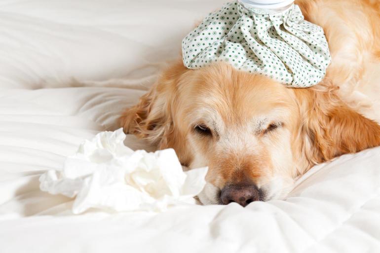 До чого сниться хвора собака: бачити изнеможенного цуценя жінці, токування сонників