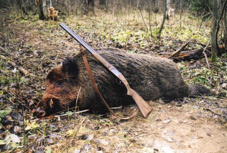До чого сниться кабан: тлумачення по сонникам, великий і чорний, вбити на полюванні