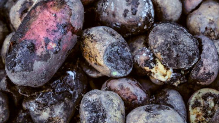 До чого сниться картопля: значення по соннику, тлумачення сну для чоловіків і жінок, характеристика бульб