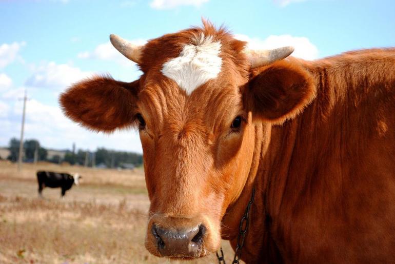 До чого сниться корова: особливості образу тварини, значення сну для чоловіків і жінок у різних сонники