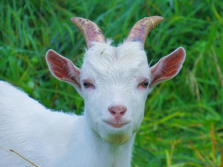 До чого сниться козел: тлумачення білого гірничого різними сониками, що означає нападники тварина