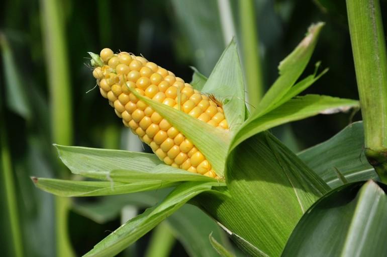 До чого сниться кукурудза: купувати жовті кукурудзяні качани дівчині