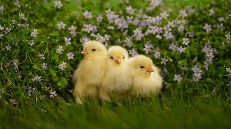 До чого сниться курка з курчатами: значення сну з квочкою для жінки і чоловіки, тлумачення різних сонників