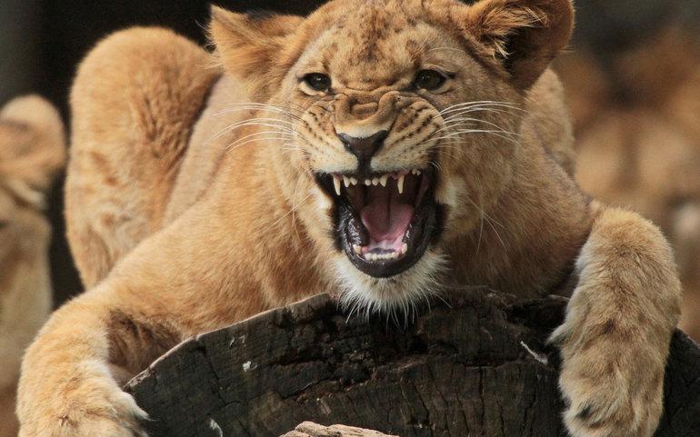 До чого сниться лев: тлумачення по соннику Міллера, що означає вбити, гладити або годувати хижака