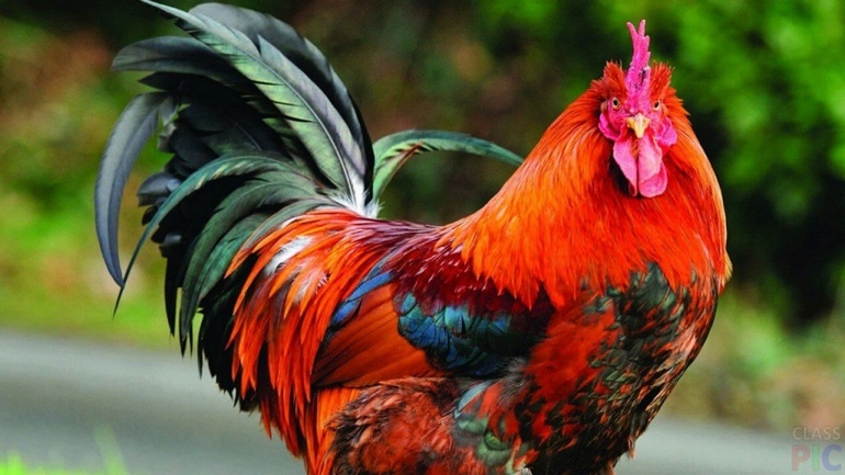 До чого сниться півень: тлумачення снів з білою, червоною і чорною птахом, значення для дівчат, жінок і чоловіків