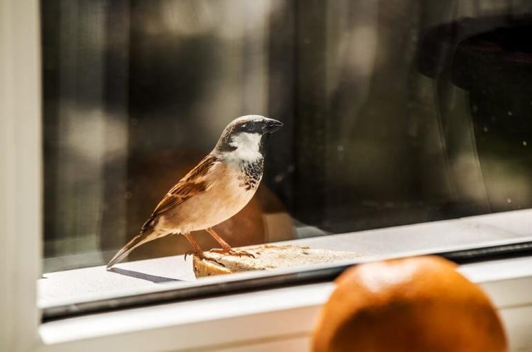 До чого сниться птах, залетевшая у вікно: вид і колір пташки, передбачення сонник Ванги і Міллера