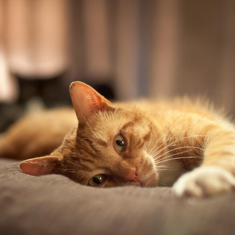 До чого сниться рудий кошеня: тлумачення по сонникам Ванги і Міллера для жінки і чоловіки