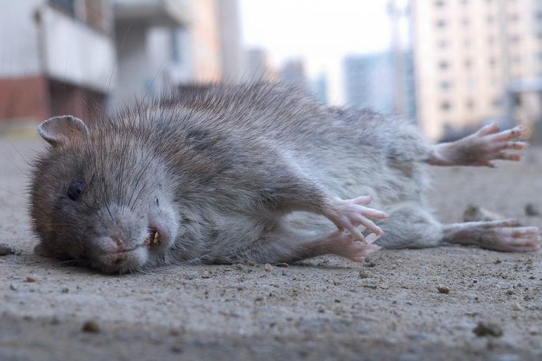 До чого сниться сіра щур: наснився великий гризун, трактування по сонникам