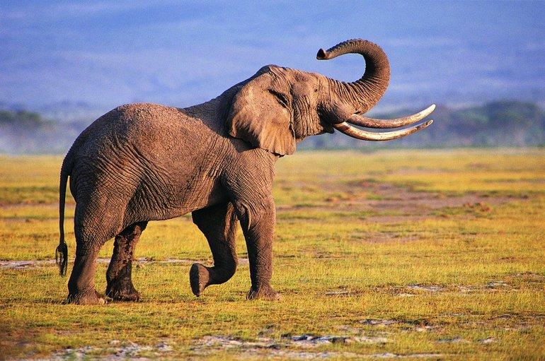 До чого сниться слон: тлумачення сонників, що означає рожевий слоник