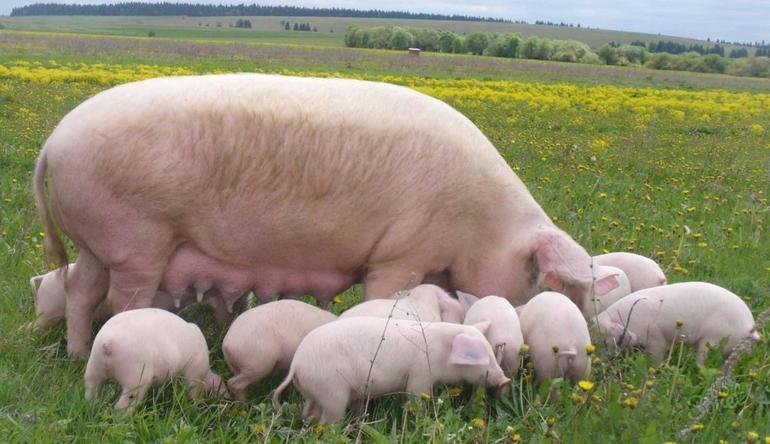 До чого сниться свиня по сонникам: жива свинюшка, що означає зарізати і обробляти уві сні підсвинка