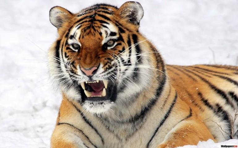До чого сниться тигр: тлумачення по сонникам, ласкавий і добрий, у клітині
