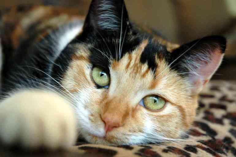 До чого сниться триколірна кішка: розшифровка подробиць по соннику, тлумачення для жінки