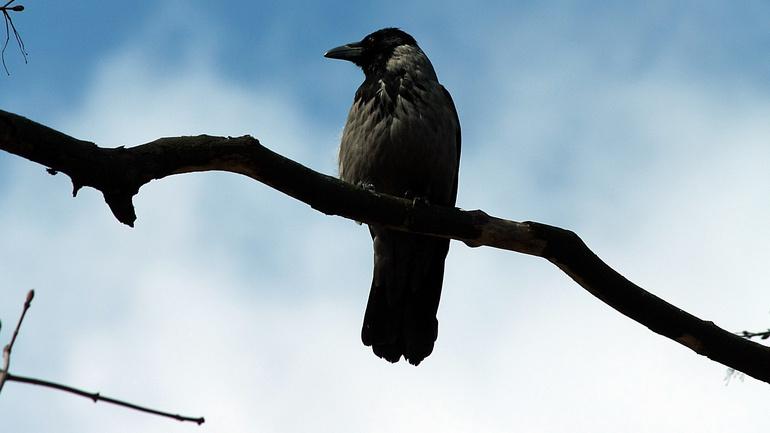 До чого сниться ворона: основне значення по соннику, що означає дохла чи жива, чи багато, чи мало птахів у сні