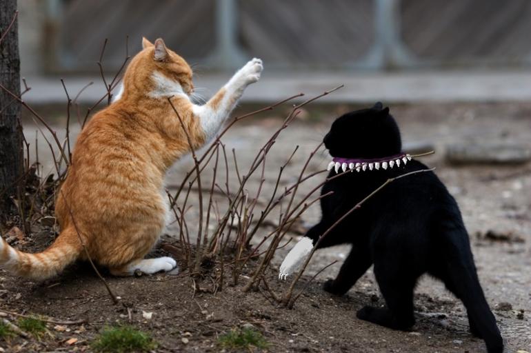 До чого сняться б'ються кішки: тлумачення побаченого уві сні бійки між тваринами