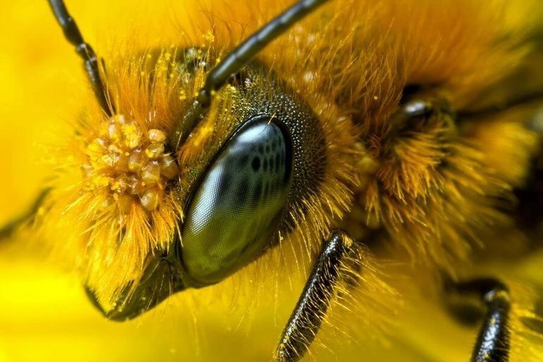 До чого сняться бджоли: тлумачення сонників, що означає бджолиний укус уві сні