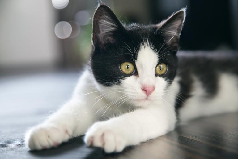 До чого сняться чорно-білий кіт, кішка людині: тлумачення сонників