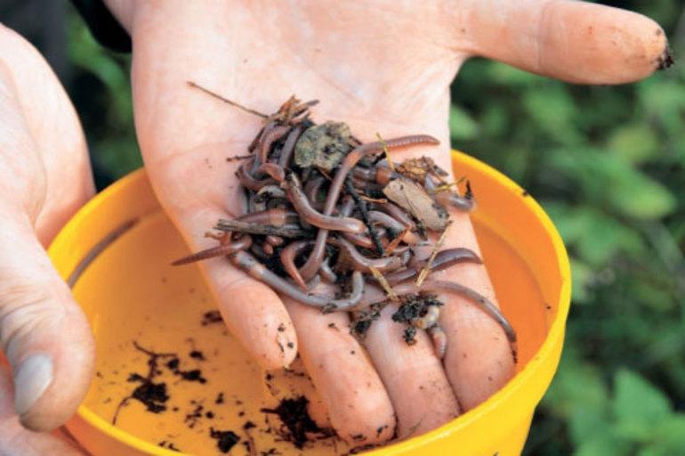 До чого сняться дощові черв'яки: тлумачення сонники, що означають членистоногі в землі або їжі