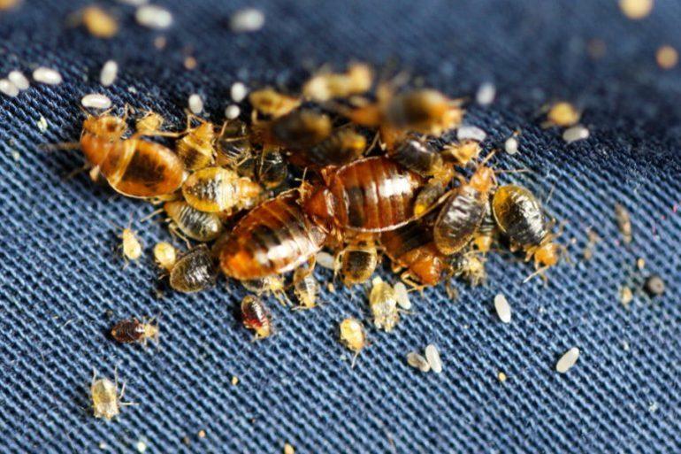 До чого сняться клопи: загальне тлумачення по соннику, що означає тиснути комах в ліжку і на тілі