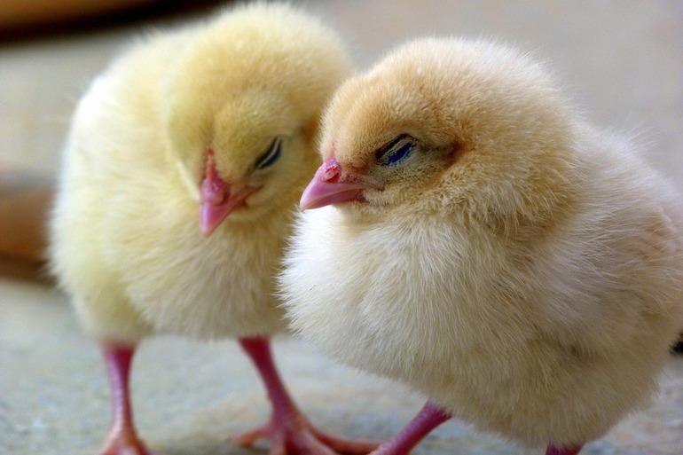 До чого сняться курчата: значення маленьких жовтих пташенят у соннику для жінок і чоловіків