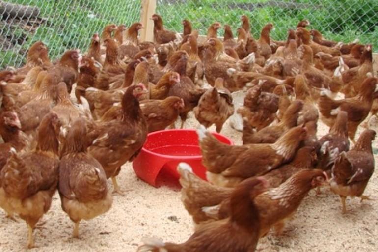 До чого сняться кури: тлумачення сну про домашніх птахів, що означає готування курки, бачити багато курячого м'яса
