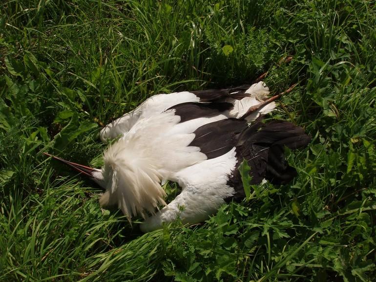 До чого сняться лелеки: тлумачення сну для жінок і чоловіків, що означає побачити птаха в гнізді або зграю в небі