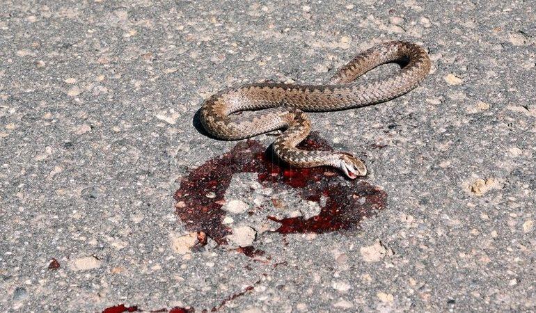 До чого сняться мертві змії по сонникам: чоловікові, жінці, дівчині