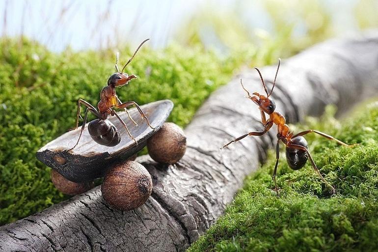 До чого сняться мурахи: тлумачення сонників, великі мураши уві сні, руді і чорні комахи