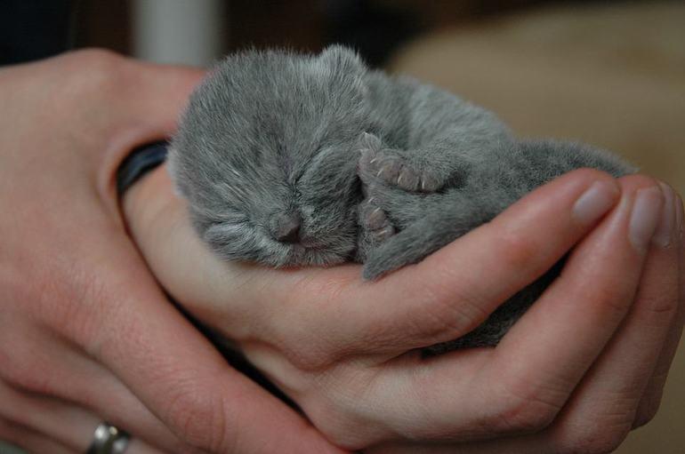 До чого сняться новонароджені кошенята: що означає багато маленьких сліпих дитинчат поряд з кішкою по соннику