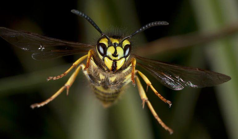 До чого сняться оси: тлумачення сонників, значення мертвих комах у сні, осине гніздо