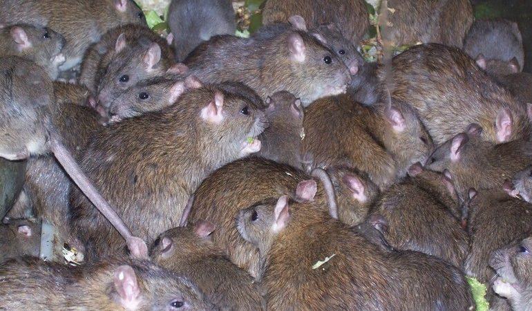 До чого сняться пацюки: багато тварин у сні, значення і тлумачення по найпопулярнішим сонникам