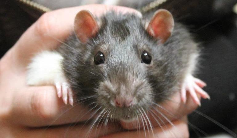 До чого сняться пацюки уві сні чоловікові: сірі і чорні тварини, що означає бачити багато гризунів, день тижня