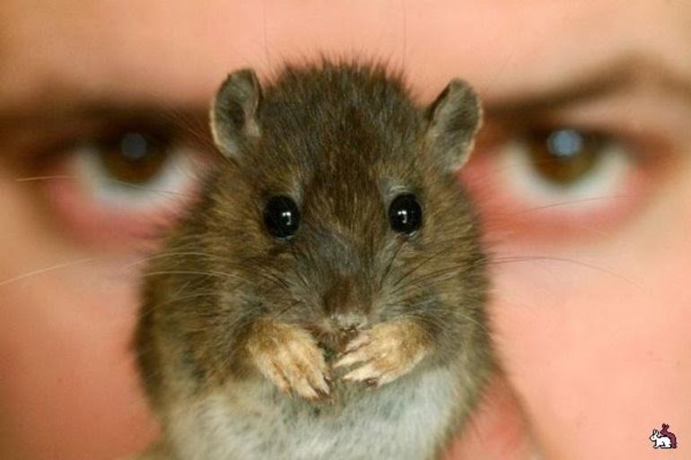 До чого сняться пацюки уві сні жінці: тлумачення сновидінь з чорними, білими, сірими і рудими гризунами