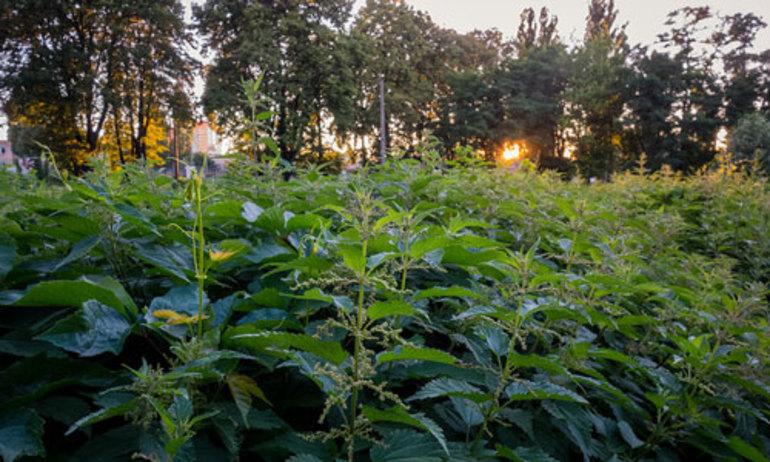 Кропива уві сні: думка сонників про приснившемся рослині
