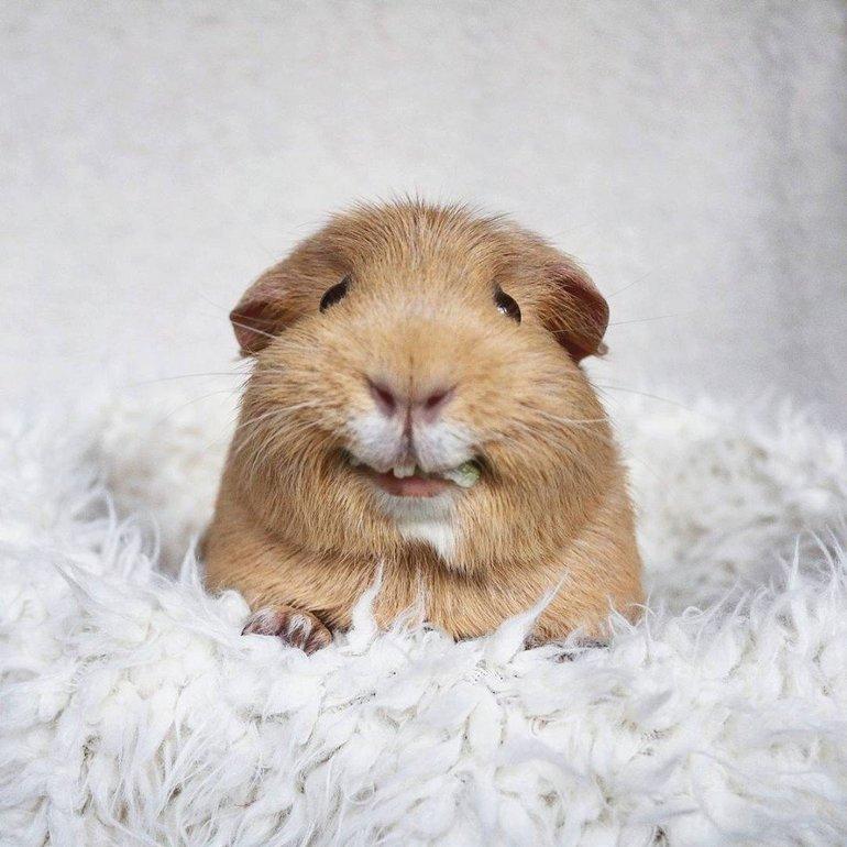 Сниться морська свинка: жінці наснився сон про тварини