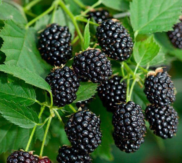 Сон про ожину: до чого присниться крупна і дрібна ягода, варіанти тлумачення різних сонників