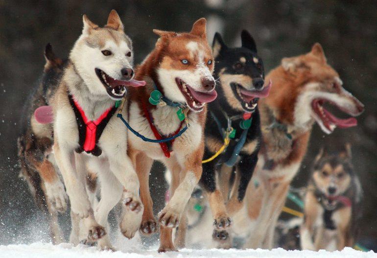 Тлумачення сну, де сниться хаскі: колір собаки, поведінку тварини, передбачення сонник Ванги