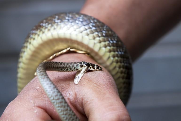 Змії нападають: трактування сну з урахуванням кольору і розміру рептилії, значення для чоловіків і заміжніх жінок, тлумачення по сонникам
